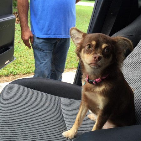Luci called shotgun chihuahua dogsofinstagram dog chihuahuasofinstagram