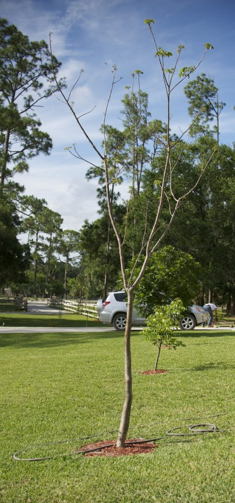 Earth Day - plant Gumbo Limbo Trees