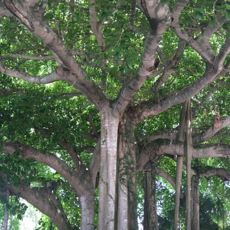 banyantree  Love one in our back yard It wouldhellip